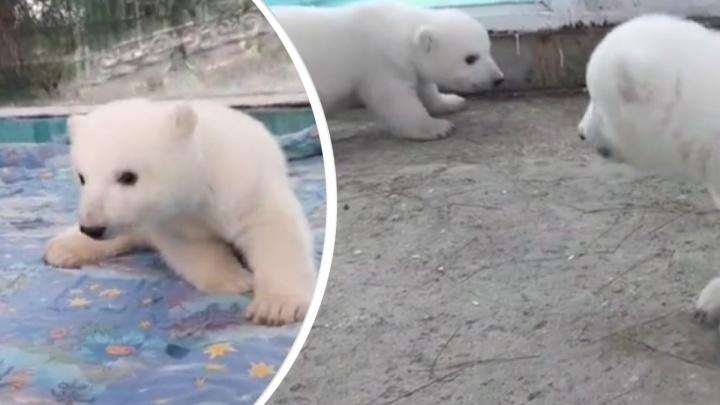 Детенышей красноярского медведя Седова впервые вывели на прогулку в геленджикском зоопарке: видео