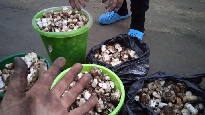 Сезон еще не закрыт. Смотрим, что везут грибники из лесов Челябинской области