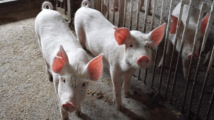 Башкирия оказалась под угрозой вспышки африканской чумы свиней