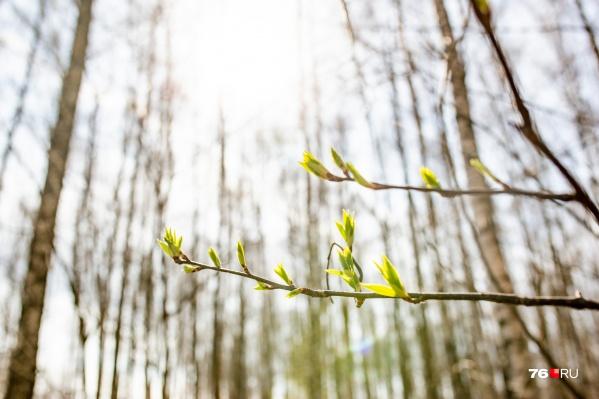По данным Гидрометцентра, настоящая весна придет в Ярославль во второй половине апреля