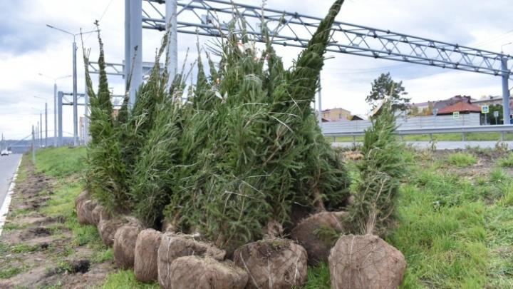«У Красноярска есть шанс стать зеленым, как на старых фото»: власти увеличили расходы на озеленение