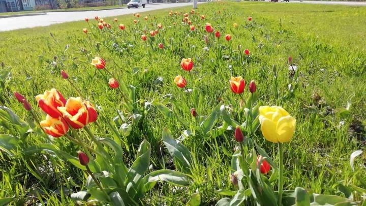 Этим летом в Сургуте будет разбито 34 цветника