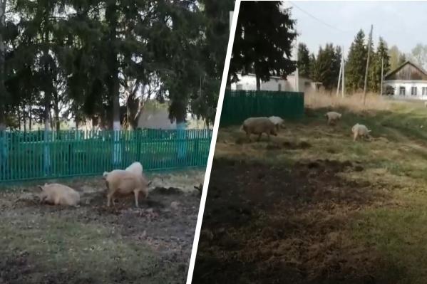 Мужчину возмутило, что свиньи роют землю