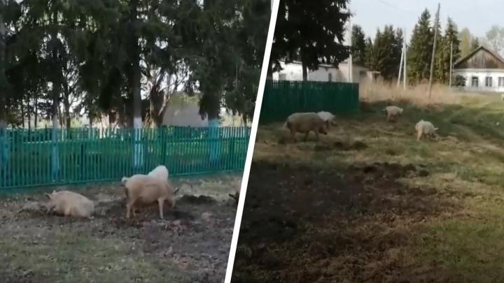 «Как в Казани»: житель Новосибирской области угрожал односельчанам убийством из-за свиней. СК начал проверку