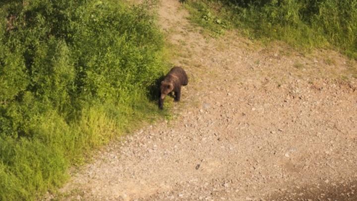 «Отпугнули квадрокоптером»: на Ветлане медведь пришел в туристический лагерь. Видео