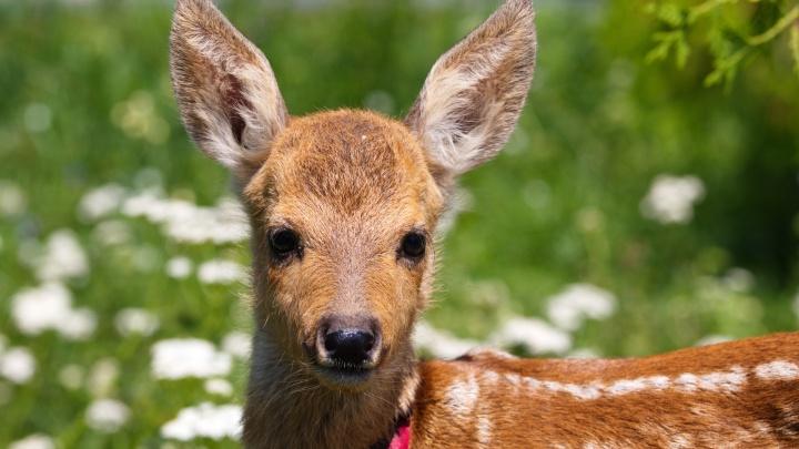 Самарский зоопарк предложил горожанам придумать имя для косуленка