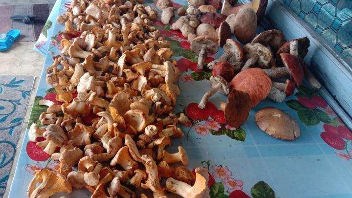 Новосибирцы начали находить в лесу лисички — показываем фото грибного урожая