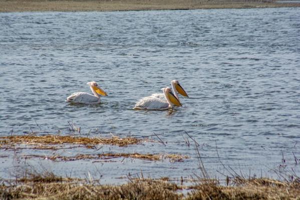 Многие омичи стали приезжать в природный парк, чтобы увидеть розовых пеликанов