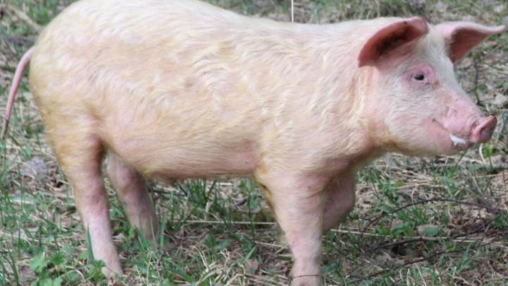 В ярославские магазины завезли паштет с африканской чумой свиней