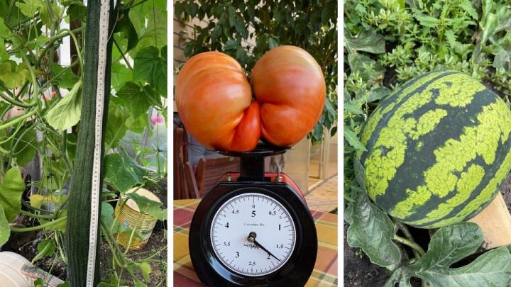 Помидор в 2 кг, гигантский перец и огурец до пола: новосибирцы выращивают огромный урожай (смотрим и завидуем)