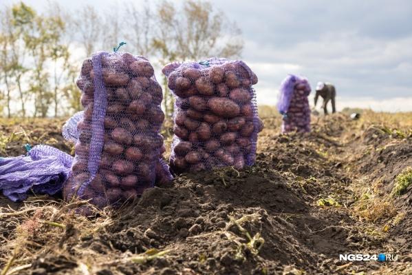 В Сибири с уборкой картошки уже закончили, опасаясь морозов