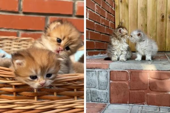 Кошки окраса «золотая шиншилла» — удовольствие не из дешевых