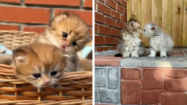 «Котенок может стоить больше 100 тысяч»: котята из сибирского питомника собирают миллионы просмотров в TikTok