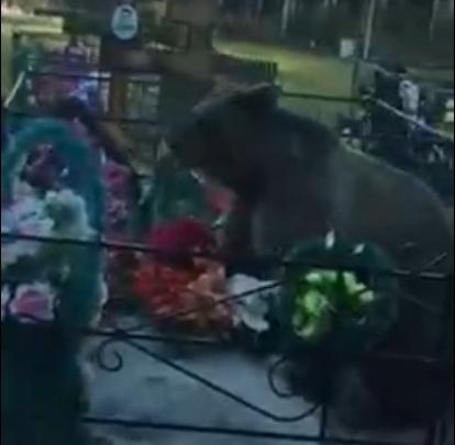 Власти: видео с медведем на кладбище снято не в Кузбассе