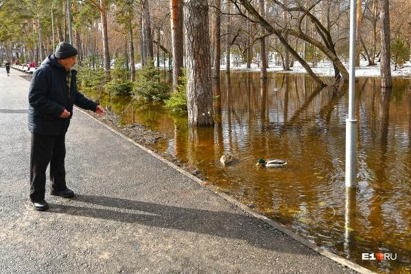 С утками это не просто лужа, а парковый пруд!