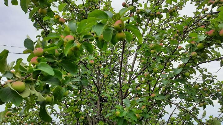 Куда воду льете? Как правильно в жару поливать яблоню, малину и смородину