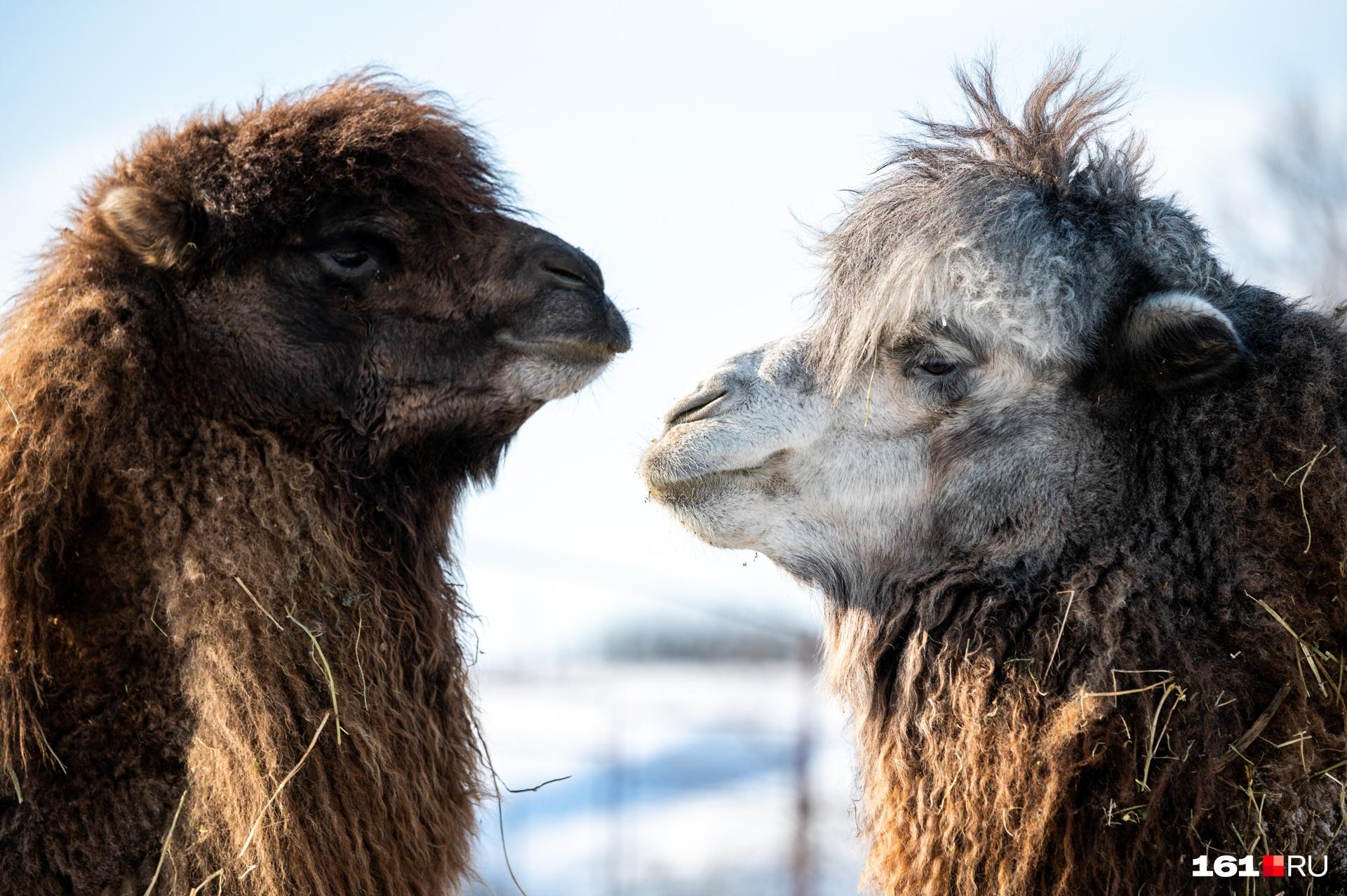 Верблюды Миша и Маша