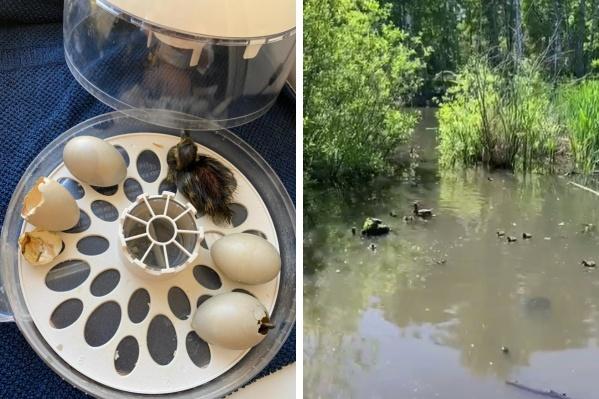 Из пяти яиц жизнеспособными оказались только два. Утят на пруду уже успешно приняла другая мама