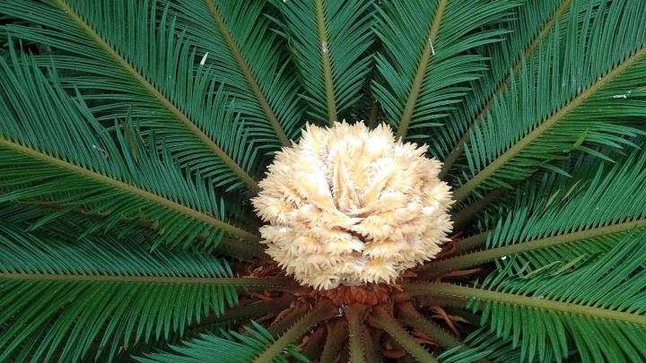 В Ботаническом саду на столетней «пальме» выросла огромная шишка