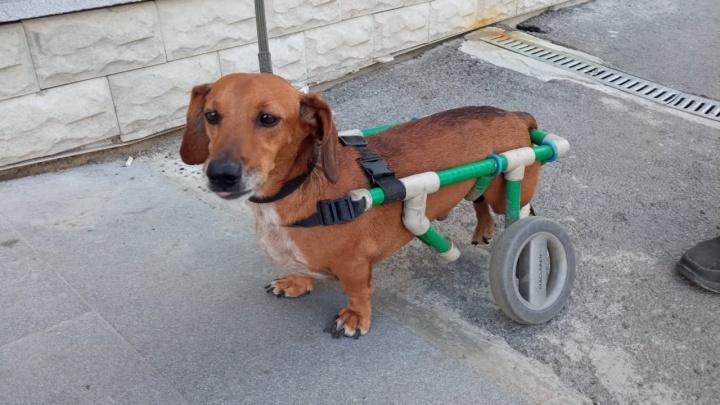 Житель Березовского сделал коляску для своей парализованной таксы. Посмотрите, как радостно она на ней бегает