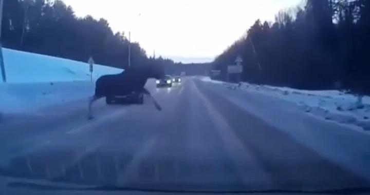 В Башкирии выбежавший на трассу лось едва не спровоцировал аварию