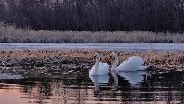 «Эта влюбленная пара — величественные птицы»: на озеро в Волгоградской области вернулись лебеди