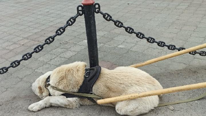 В Перми детей катают на собаке, которая «выглядит обессиленной». Это законно?