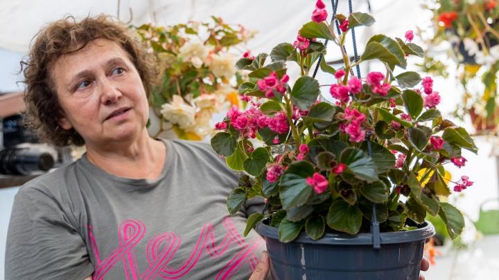 Повелительница бегоний и пеларгоний: советы по уходу за цветами от опытного красноярского агронома
