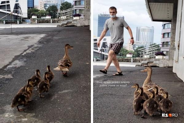 Удивительно, но утка поняла, куда нужно идти, когда увидела молодого человека