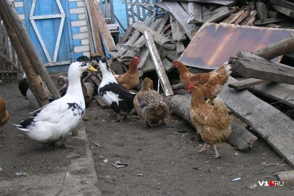 Овощи на даче выращивать можно, а птицу — нет