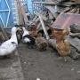 Минимальный штраф — 10 тысяч рублей: Росреестр подтвердил запрет на выращивание кур на даче