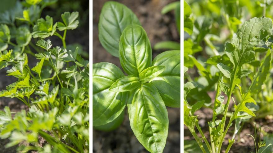 Посеял и жди урожая: самая простая в выращивании зелень для дачи