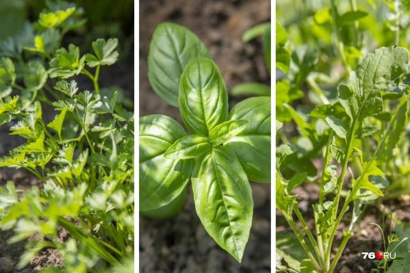 Зелень может вырастить на даче даже неопытный огородник