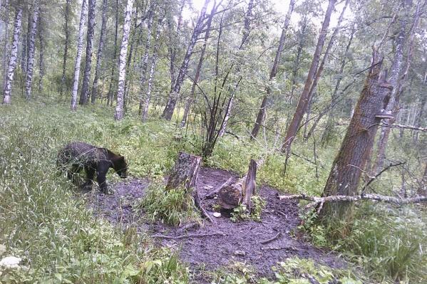 Животное также попало на камеру видеофиксации