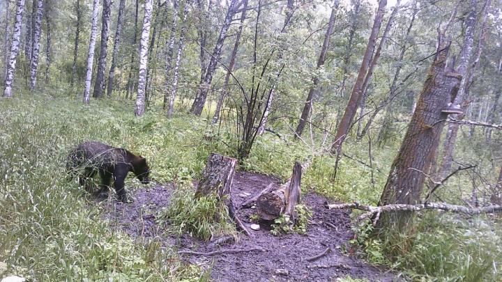«Его манит свалка»: под Новосибирском молодого медведя заметили рядом с селом