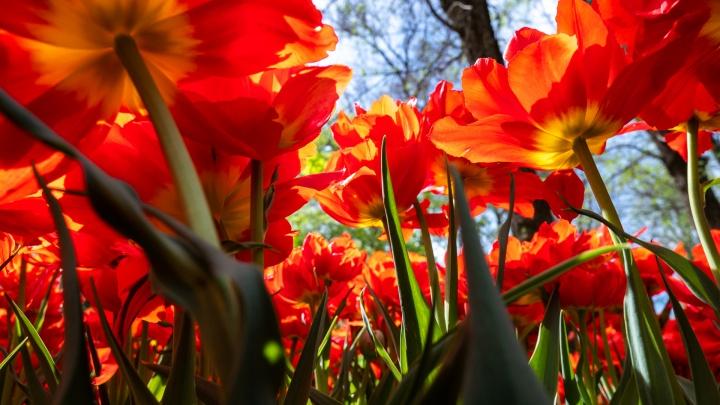 Ростов в алом и желтом: фоторепортаж с украшенных тюльпанами улиц