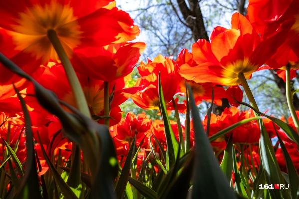 Чаще всего попадаются традиционные, красные тюльпаны
