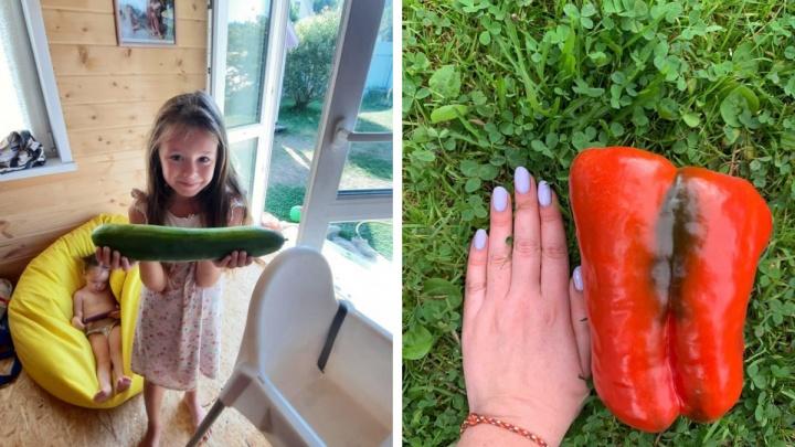 Огурец в 1,5 килограмма и гигантские тыквы: любуемся дачными рекордами уральцев