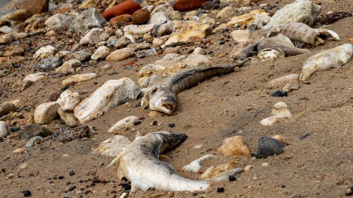 Ростовский ученый назвал причины гибели рыбы в Азовском море