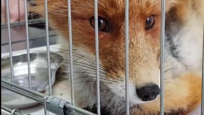 В аэропорту Сургута спасли лисенка с капканом на лапе. Зверек совсем не боялся людей. Вот видео