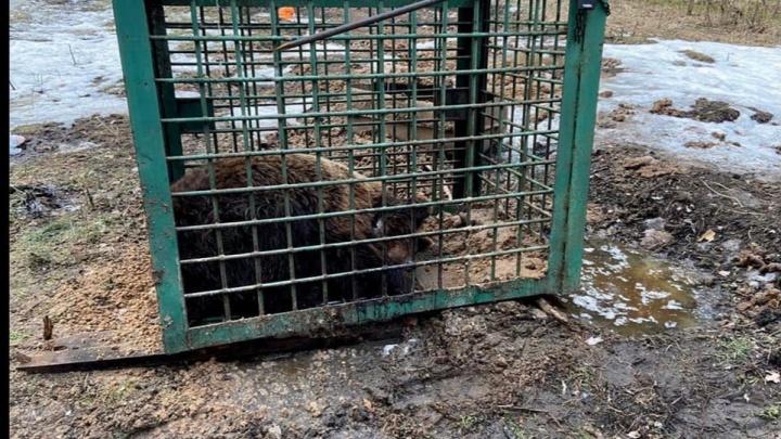 «Медведь в тайге!»: как UFA1.RU с полицией искал искалеченного мишку, вывезенного с притравочной станции