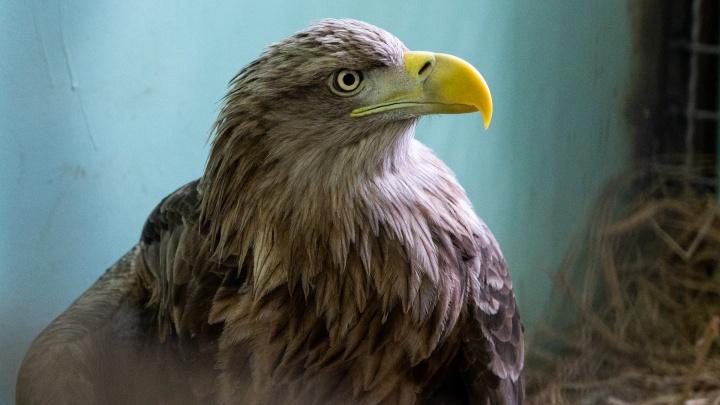 Донской фермер спас краснокнижного орлана. Птицу передали в ростовский зоопарк