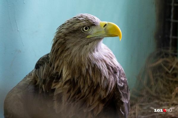 Всего в России 2500 орланов-белохвостов