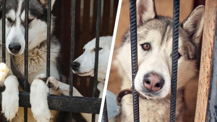 Обитатели передержки для хаски и маламутов под Екатеринбургом остались без дома. На них пожаловались местные жители