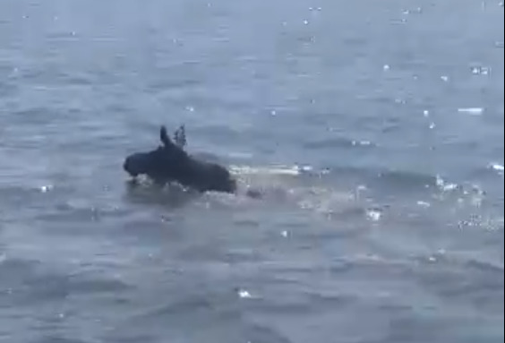 «Смотрю — уши какие-то плывут»: под Тюменью сняли на видео спасающегося по озеру лося