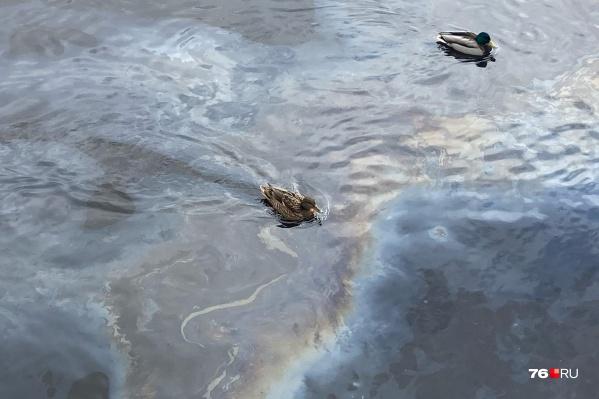 Уткам приходится находиться в грязной воде