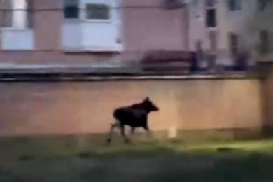 «Их отгоняют матери»: в Ярославле по улицам бегал лосенок