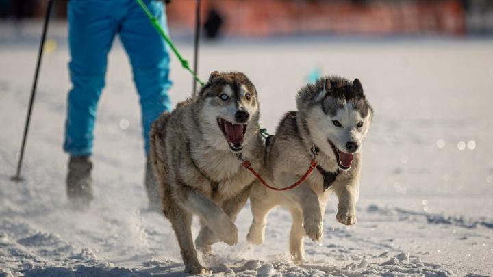Милые морды: показываем лучшие фотографии замерзших собак с заезда в Новосибирске