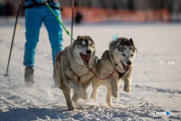 В заезде могли участвовать собаки любой породы
