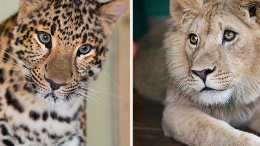 Спасенные Кареном Даллакяном лев Симба и леопард Ева летят домой в Танзанию. Репортаж из аэропорта